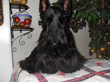 Black Scottish Terrier Puppies for Sale in North Carolina