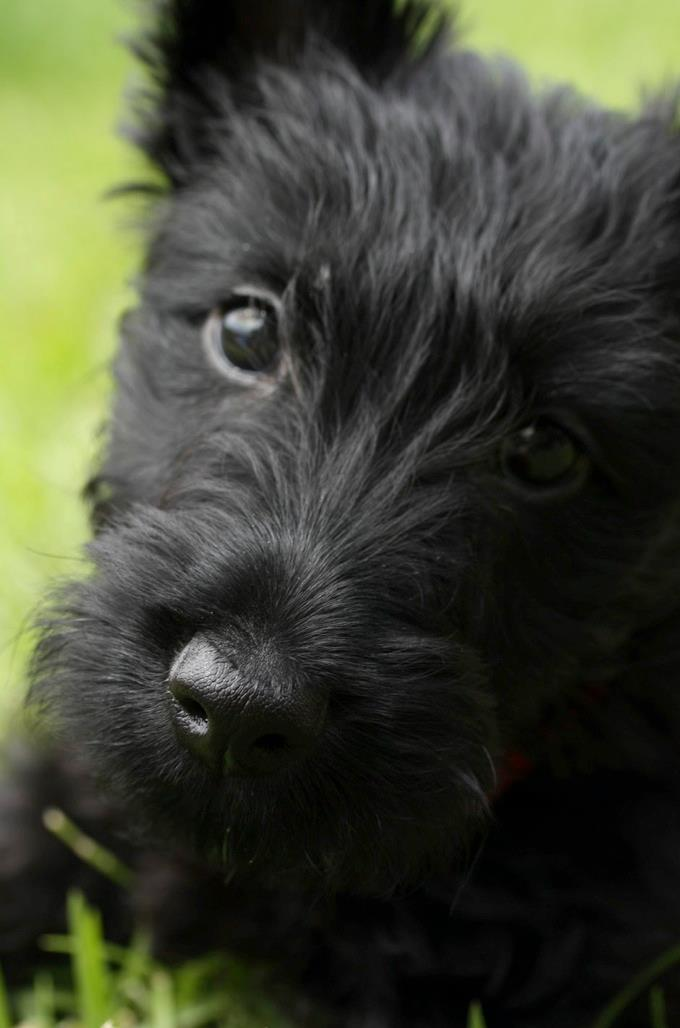 Scottish Terrier Puppies for Sale in North Carolina